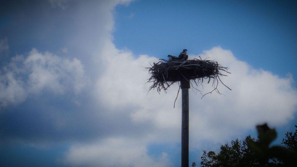 Eaglets on K&P Trail