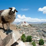 Lhasa-sheep-Tibet