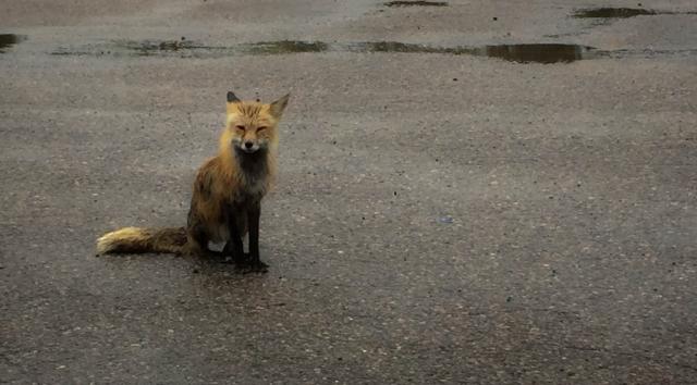 Soaking wet fox in parking lot in Kenora, Ontario