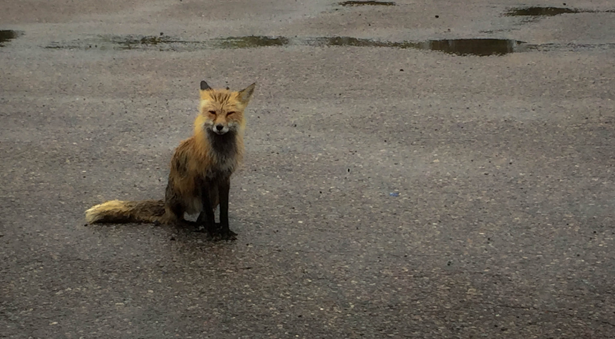 Soaking wet fox in parking lot in Kenora, Ontario
