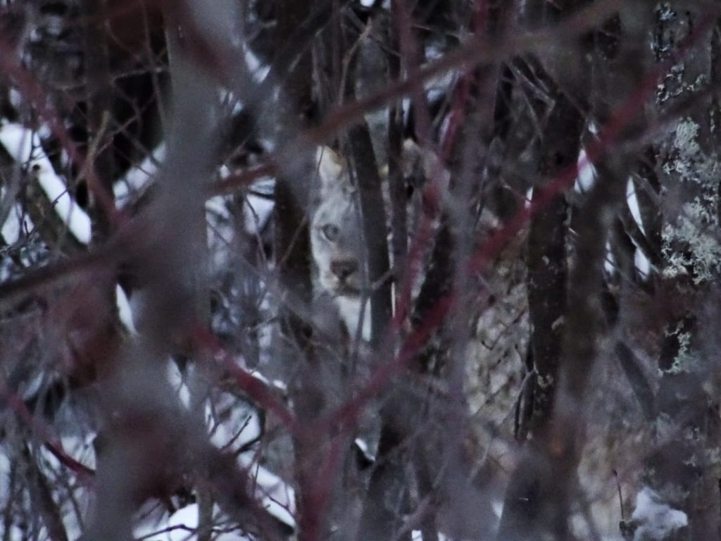 A  bobcat in the winter forest in Hornepayne Ontario