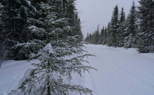 Snow covered pine trees along a snowmobile trail in north eastern Ontario