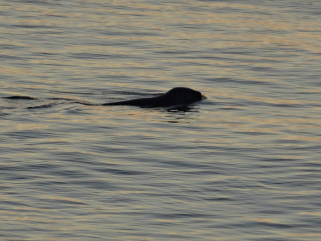 A seal in the evening waters at North Head, Grand Manan