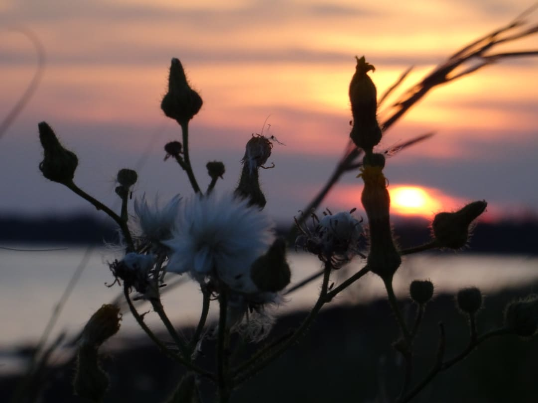 Dandelions backed by sunset at Linkletter Provincial Park on PEI